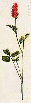 Illustration of trifolium incarnatum